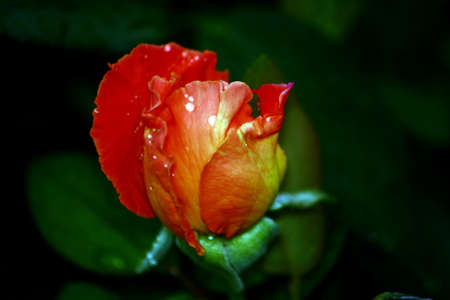 Colorful Rosebud With Raindrops photo