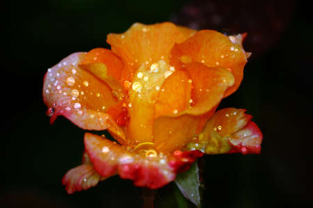 Multi Colored Rose Wet From Rain Stock Photo