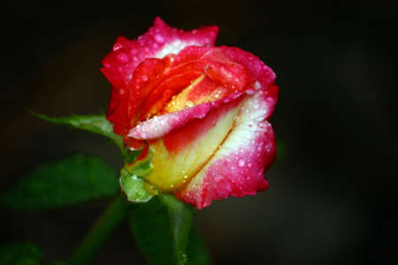 Yellow And Pink Rosebud With Raindrops Stock Photo