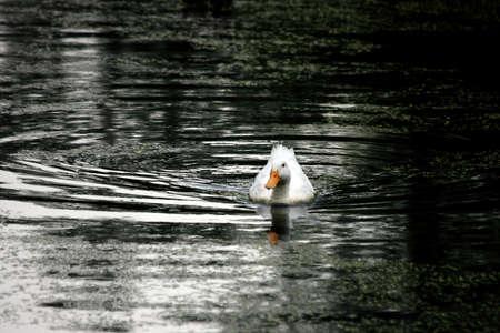 Duck Swimming In The Rain Stock Photo