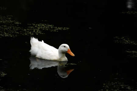 White Duck Swimming With His Reflection