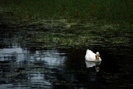 Lone Duck On Pond