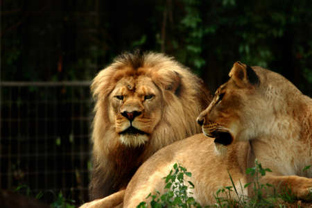 Proud Lion And Lioness In A Zoo Stock Photo