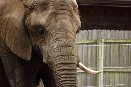 Zoo Elephant With Missing Tusk