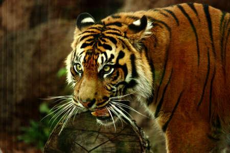 Sumatraanse tijger Stockfoto