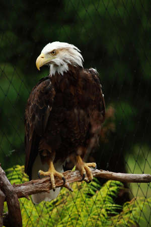 Bald Eagle On Branch Stock Photo