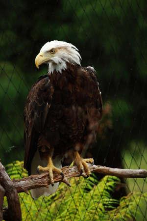 Bald Eagle On Branch photo