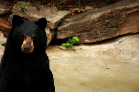 Vriendelijke op zoek zwarte beer close-up Stockfoto