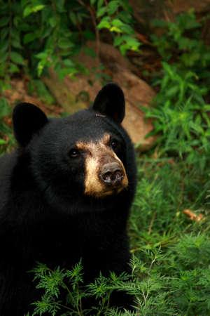 black bear: Black Bear Close Up