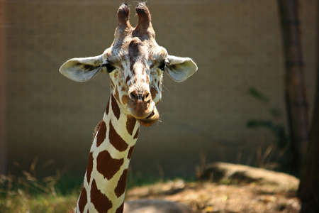Young Giraffe Close Up