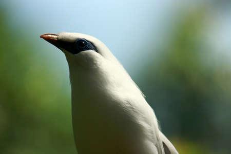 Bali Starling Close Up