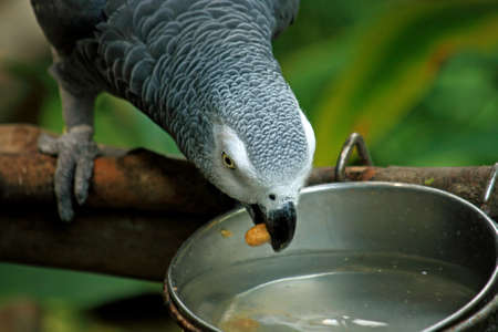 african grey parrot: African Grey Parrot Washing Food