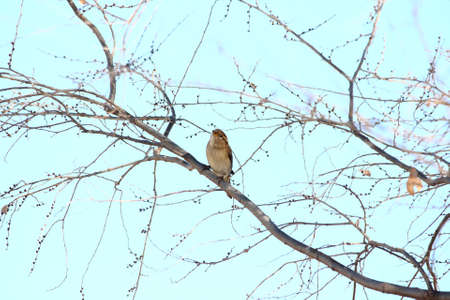 American Tree Sparrow Singing From A Bare Branch