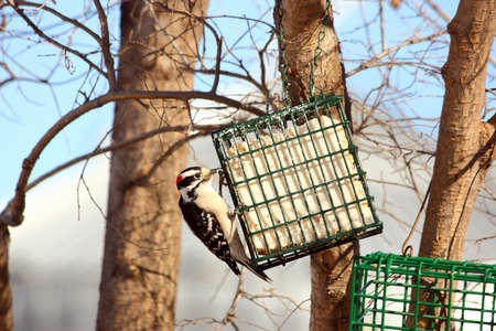 Male Downy Woodpecker On Suet Feeder Stock Photo