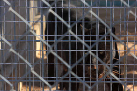 Black Panther Cage Stockfoto