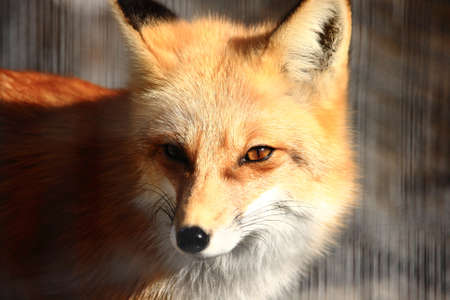 Red Fox In A Zoo Stock Photo