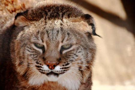 Wild Bobcat In Small Zoo Enclosure