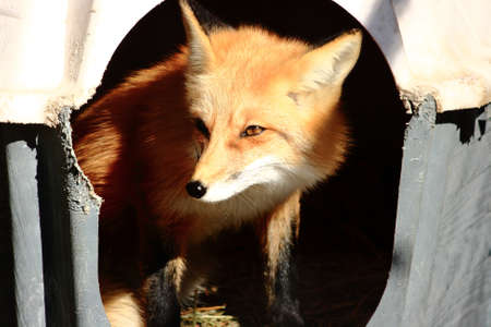 Red Fox In Dog House