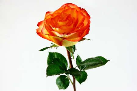 Orange And Yellow Rose On White