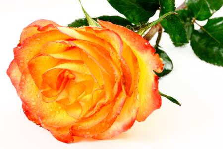 Orange And Yellow Rose Isolated On White photo