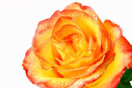 Oranje En Gele Roos Close-up Geà ¯ soleerd Op Wit
