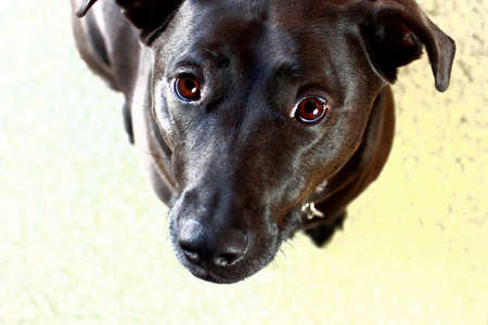 begging: Black Pet Dog Looking Up At Camera