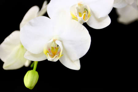 White Orchid On Black Background Stock Photo - 12725340
