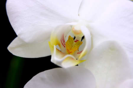White Orchid On Black Macro Photo Stock Photo - 12725352