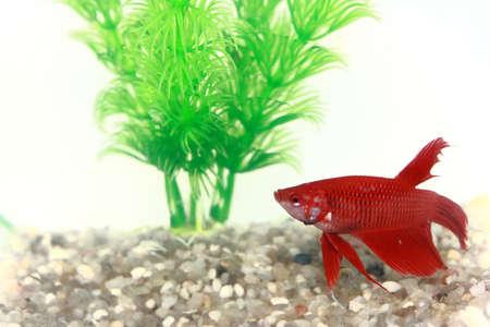 Rode Chinese Vechten Beta vis in een kleine Fish Bowl Stockfoto