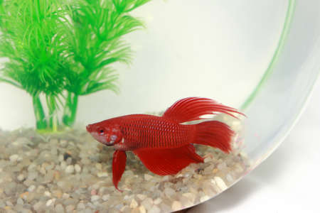 Young Red Chinese Fighting Beta Fish Stock Photo - 12906743