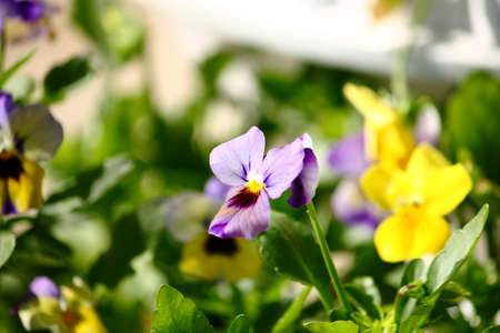 Delicate Spring Viola Flowers Stock Photo