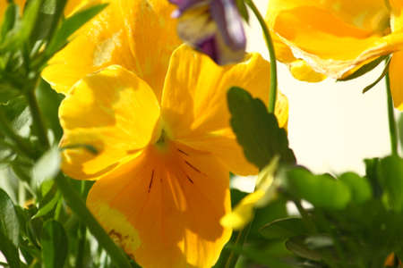 Pure Yellow Pansy Flower Stock Photo