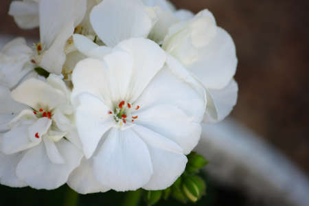 White Geranium Flowers Close-Up Stock Photo