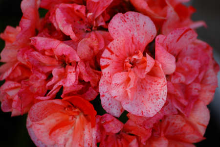 Salmon Colored Geranium Flowers Close-Up