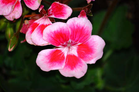 Rose Colored Geranium Flower Close-Up