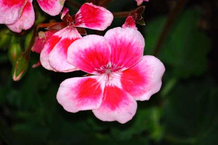 Rose Colored Geranium Flower Close-Up