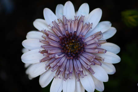 3D Silver African Daisy Stock Photo - 13135256