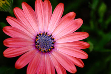 Colorful African Daisy