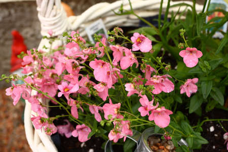 Genta Pink Diascia Flowers Stock Photo