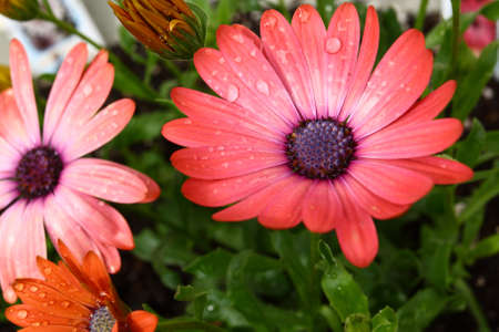 Colorful Pink Dasies Stock Photo