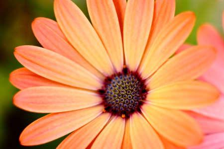 Peach Colored African Daisy Macro Stock Photo