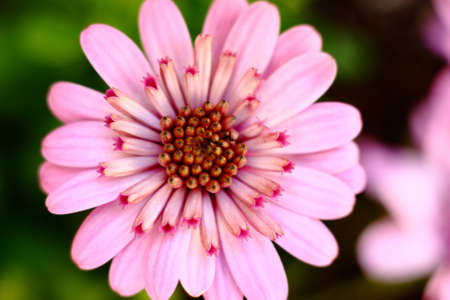 3D Pink African Daisy Stock Photo - 13135282