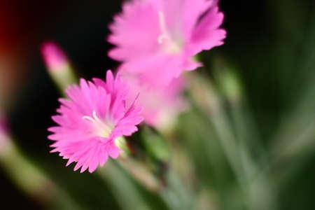 Garden Carnation Macro Stock Photo