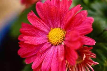 Pink Garden Mum Bloem Stockfoto