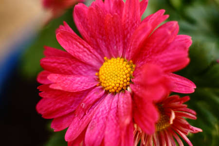 Pink Garden Mum Flower