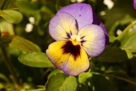 Tri-Colored Viola Flower Macro