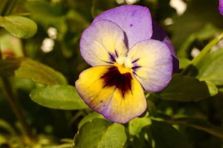 Tri-Gekleurde Viola Bloem Macro
