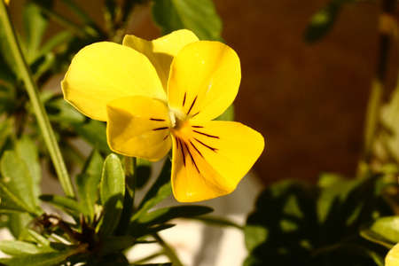 Yellow Viola Flower Macro Stock Photo