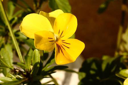 Yellow Viola Flower Macro Stock Photo