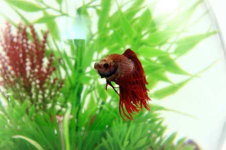 Red Beta Fish Swimming In Fishbowl Stock Photo - 14312875
